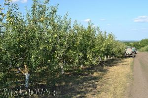 Tânărul antreprenor gestionează 33 hectare de livadă de mere. © Tatiana Zabulica/OdN